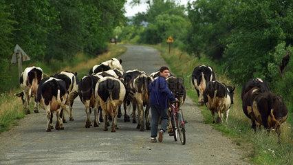 Bauernjunge treibt die Kuehe nach Hause  Polen