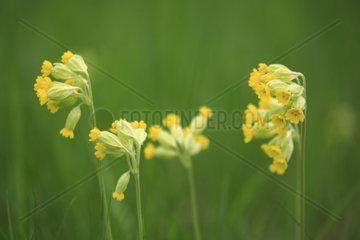 echte Schluesselblume auf einer Wiese