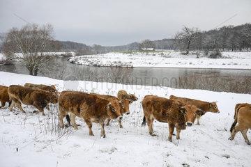Ur-Rinder im Winter an der Lippe  Datteln  Ruhrgebiet  Nordrhein-Westfalen  Deutschland