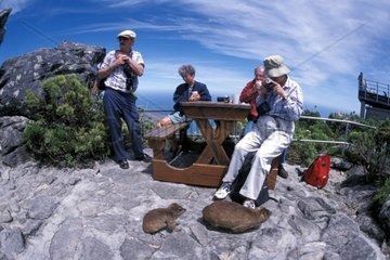 South Africa  Cape town  Table mountain  cape hyrax and tourists