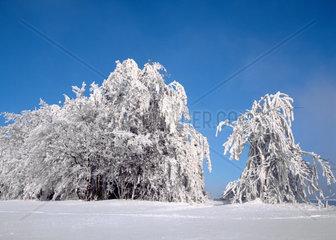 Verschneite Baeume im Winter