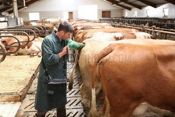 Veterinaermedizinische Untersuchung im Kuhstall