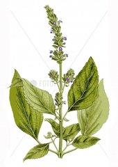 Chia Salvia hispanica