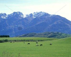 New Zealand  North Island  sheep grazing in field