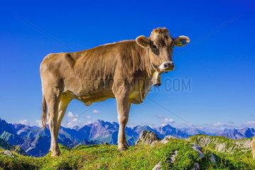Milchkuehe auf der Alm am Nebelhorn