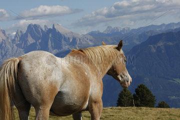 Pferd auf eine Suedtiroler Bergwiese