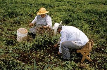 Mexikanische Kleinbauern (Campesinos) bei der Erdnussernte