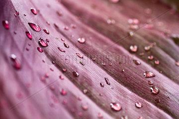Raindrops on Cannae leaf