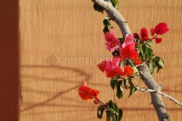 Blume vor einer Mauer in Marokko
