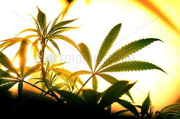 Hanfpflanze im Gewaechshaus des Cannabis College  Amsterdam