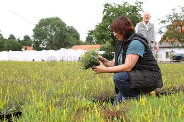 Heidekrautanbau am Niederrhein