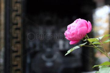 Rose am Grab