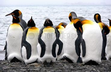 Koenigspinguine in Cooper Bay  Suedgeorgien  Antarktis