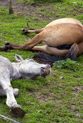 Pferde liegen schlafend auf der Koppel