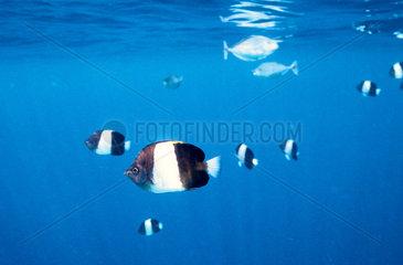 Indischer Ozean  Malediven: Schwarzer Pyramiden Falterfisch