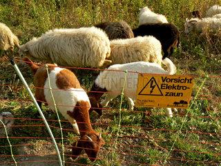 Ziegen und Schafe hinter Elektrozaun