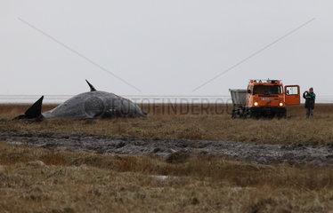 Bergung gestrandeter Pottwale an der deutschen Nordseekueste