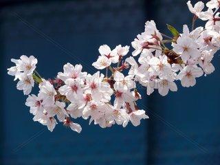 Kirschbluete in Osaka - am Ufer des Okawa Flusses