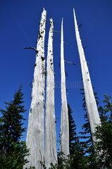 Abgestorbene B__ume im Mount Rainier Nationalpark