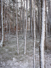 Verschneite Baeume
