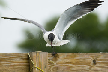 Laughing Gull landing on wooden fence
