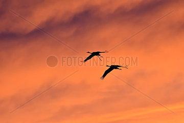 Zwei Kraniche  einer davon mit verletztem Bein  fliegen durch den Abendhimmel