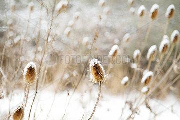 Wilde Karde im Winter