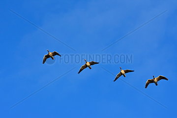 Vier Wildgaense fliegen durch den blauen Himmel