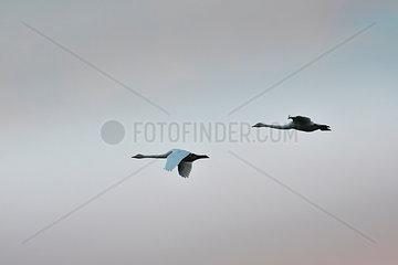 Zwei Singschwaene im Flug an einem bewoelkten Tag