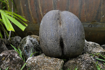 Africa  Seychelles Islands  Praslin island  coco de mer  Lodoicea maldivica  nut