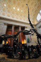 Dinosaur and Brontosaurus skeletons at American Natural History Museum  USA  New York