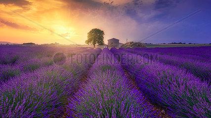 France  Alpes-de-Haute-Provence  Valensole  lavender field at twilight