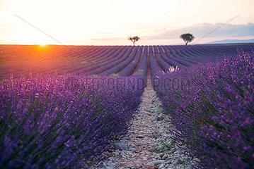 France  Alpes-de-Haute-Provence  Valensole  lavender field at sunset