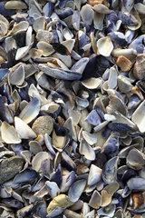 Nessebar  Muschelschalen am Strand