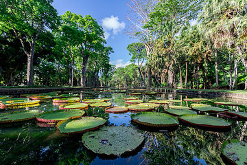 Mauritius  Sir Seewoosagur Ramgoolam Botanical Garden  leaves of Amazonas Giant Water Lily on pond  Victoria amazonica