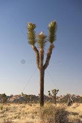 Joshua tree (Yucca brevifolia) growing in Joshua Tree National Park  California  USA
