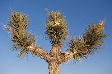 Joshua tree (Yucca brevifolia) against blue sky