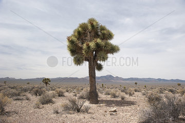 Joshua tree (Yucca brevifolia) growing in the desert