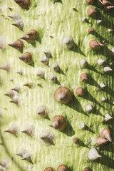 Thorny plant stalk