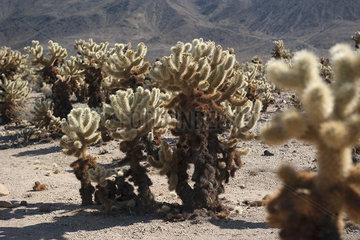 Cholla cactus growing in Joshua Tree National Park  California  USA
