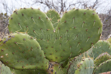 Heart shaped cactus