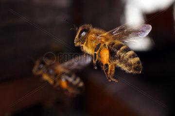 Berlin  Deutschland  Honigbiene mit Pollen am Bein im Flug