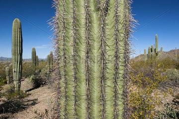 Close-up of cactus in Saguaro National Park  Arizona  USA