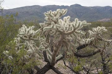 Cholla cactus in a desert of Arizona  USA