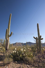 Desert landscape in Saguaro National Park  Arizona  USA