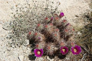 Flowering hedgehog cactus (Echinocereus engelmannii)
