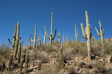 Saguaro National Park  Arizona  USA
