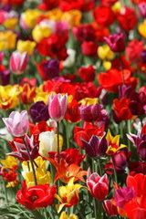 Schoenberg  Tulpenbeet