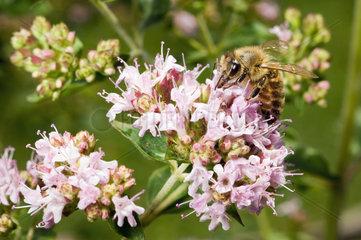 Berlin  Deutschland  eine Biene sitzt auf den Blueten von Dost