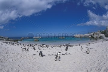 South Africa  Cape Point Afican Jackass Penguins (Spheniscus demersus)on beach